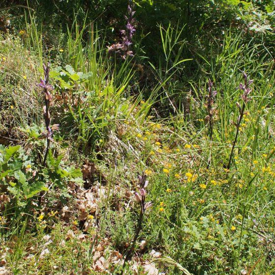 Fioritura di Limodorum abortivum, fior di stecco, Trevi, Coste