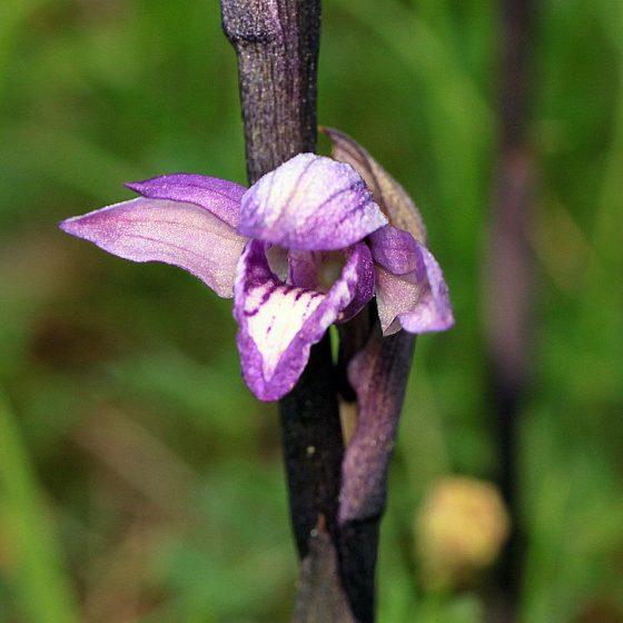 Limodorum abortivum, fior di stecco [photo credit: orchidsworld Limodorum abortivum via photopincreativecommons.org/licenses/by-nc-nd/2.0]