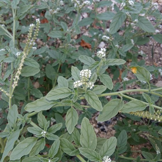 Erba perla minore [Buglossoides arvensis o Lithospermum arvense]
