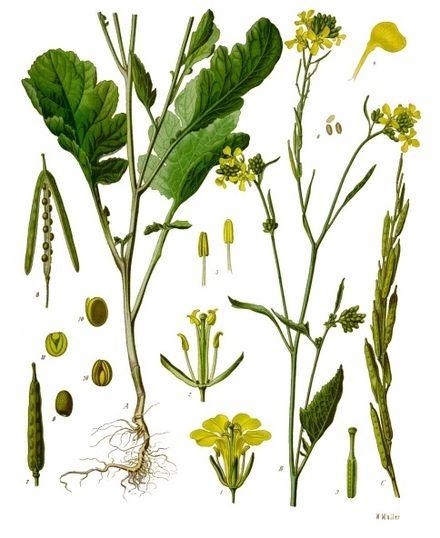 Brassica nigra [da wikimedia, tavola tratta da Franz Eugen Köhler, Köhler's Medizinal-Pflanzen - List of Koehler Images]