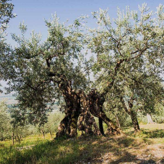 Trevi, Carambone, un olivo monumentale