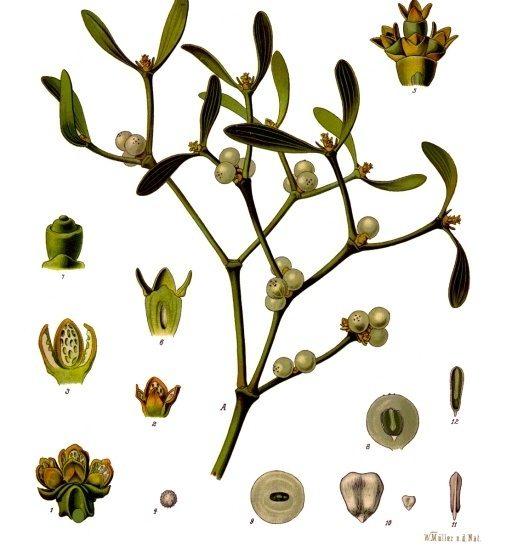 Viscum album [da wikimedia, pubblico dominio tavola di Franz Eugen Köhler, Köhler's Medizinal-Pflanzen - List of Koehler Images, commons.wikimedia.org/w/index.php?curid=255641]