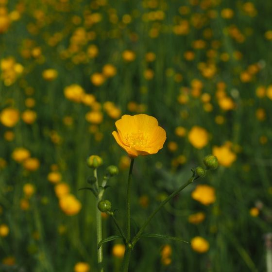 Ranunculus acris - by pixabay