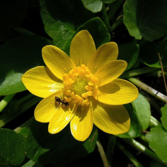 Ranunculus ficaria - by pixabay