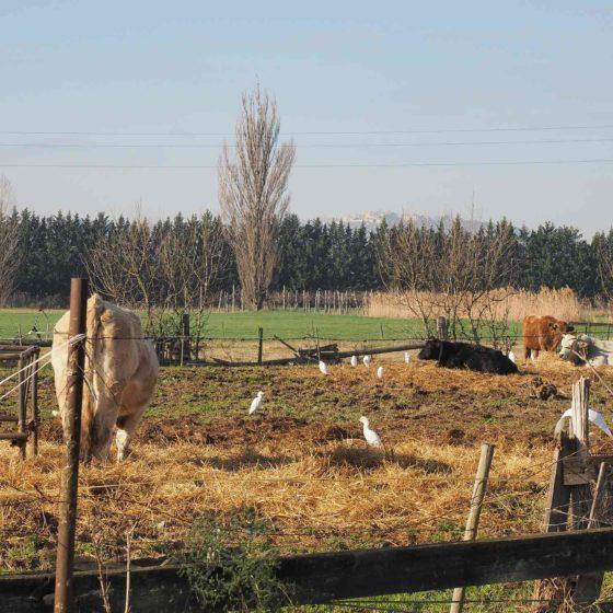 Aironi guardabuoi in Valle Umbra Tra Pietrarossa e Cannaiola