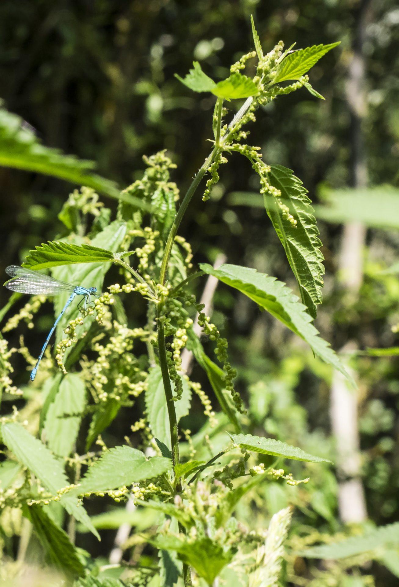 Coenagrion puella – damigella azzurrina comune, azzurrina comune