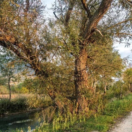 Pioppi e salice – Trevi, Pigge, fiume Clitunno