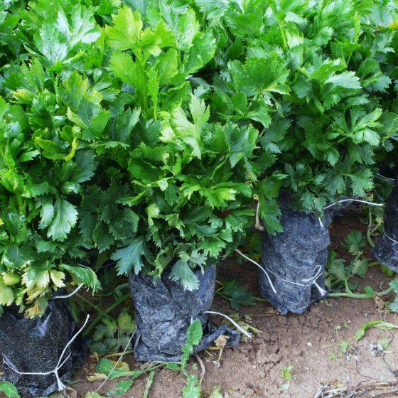 Il sedano nero di Trevi, nella fase di imbiancamento con le piante avvolte nel film plastico nero