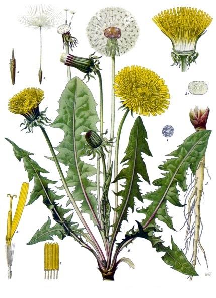 Tarassaco, tavola botanica dipinta [da wikimedia, di Franz Eugen Köhler, Köhler's Medizinal-Pflanzen - List of Koehler Images, Pubblico dominio, commons.wikimedia.org/w/index.php?curid=255466]