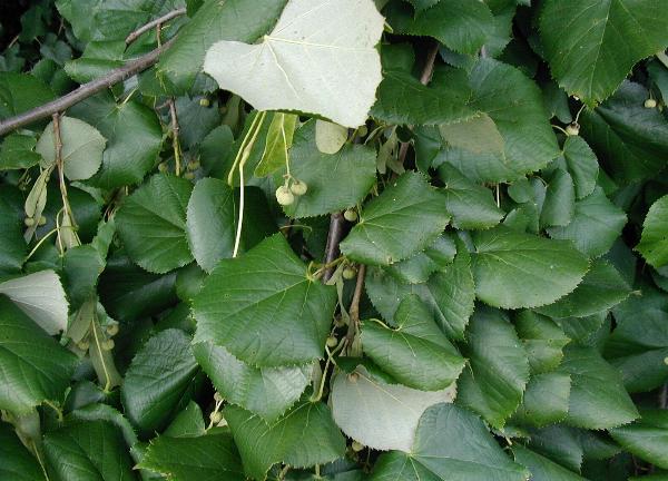 Tilia tomentosa [da wikimedia - CC BY-SA 3.0, commons.wikimedia.org/w/index.php?curid=56155]