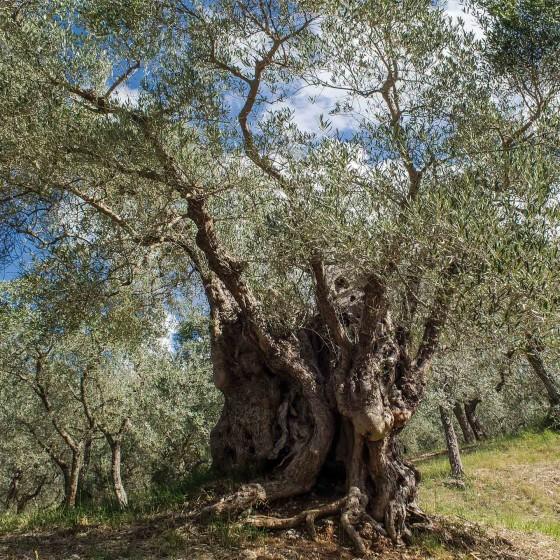Olivo – Trevi, Pigge, La Cura