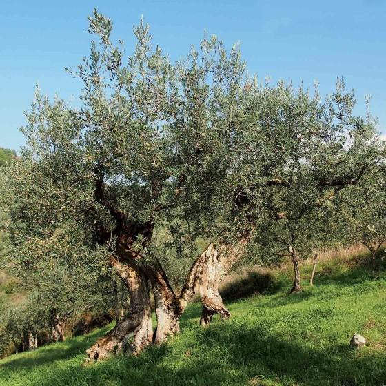 Antichi olivi