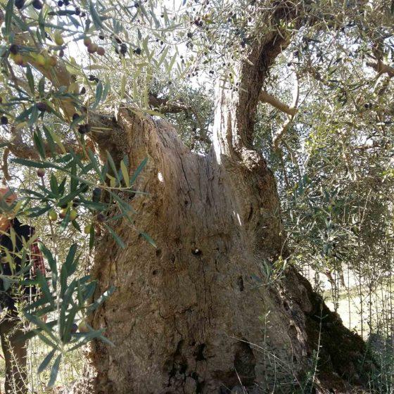 Olivo - Trevi, Pigge, Le Piatte (La Cura)