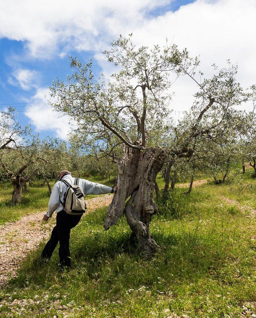 Incontri, con l'olivo che cammina